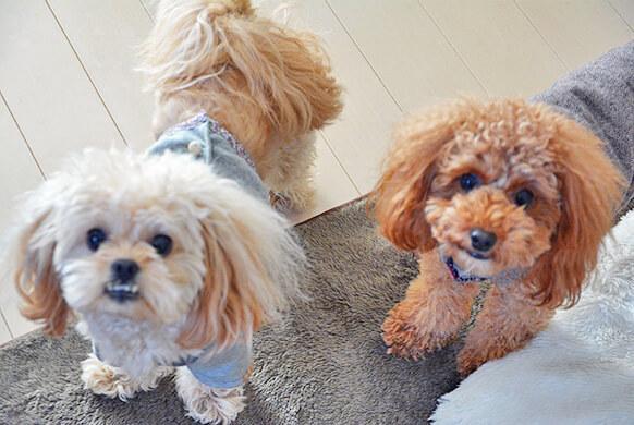 コング スクイークエアー kong  squeakair  犬 ボール おもちゃ xs 小型犬