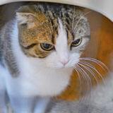 猫砂 スコティッシュフォールド