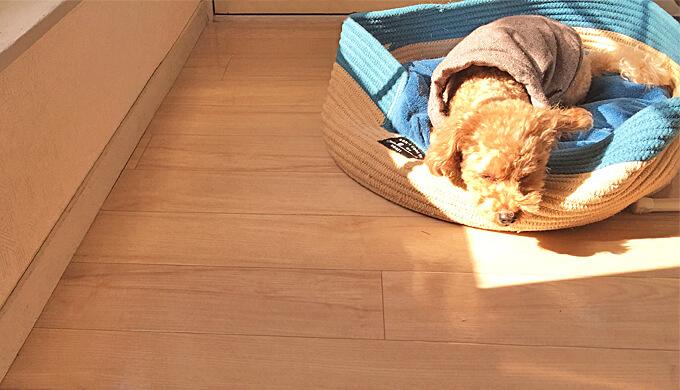 トイプードル 日光浴