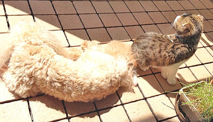 ペキプー スコティッシュフォールド 日光浴