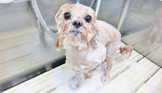 ファイテン社の特殊エネルギー水で犬をシャンプー!犬の毛がさらさらになりました