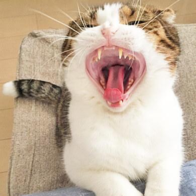スコティッシュフォールド あくび 大口 歯