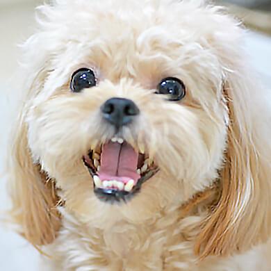 ペキプー歯 笑顔