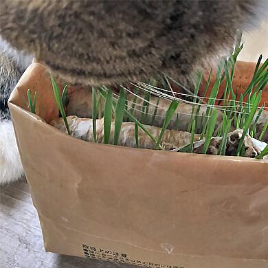 スコティッシュフォールド 猫草