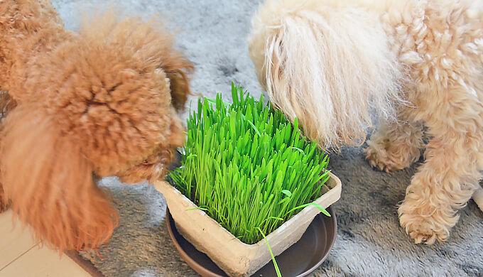 トイプードル ペキプー 猫草