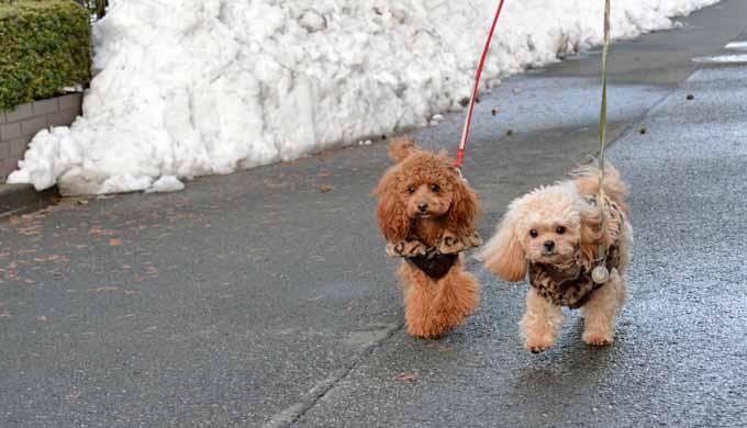雪の日の散歩 犬 服