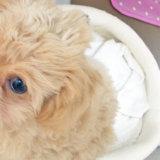 犬の涙やけが治りました!眼科専門動物病院の診察(検査)内容と治療方法を紹介します