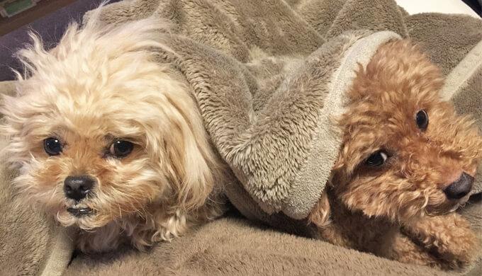 トイプードル ペキプー 毛布