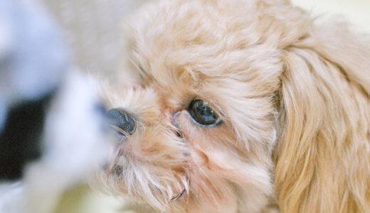 犬の涙やけ!原因と対策や予防方法を紹介します