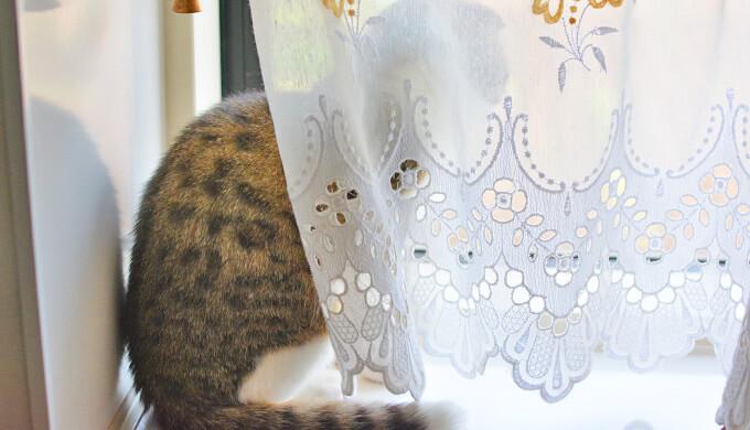 猫 日光浴 レースカーテン
