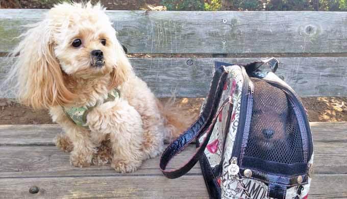子犬 鞄で散歩