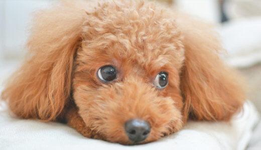 アレルギーになり易い犬種!アレルギーの特定方法と治療方法を紹介します