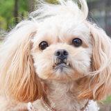 わが家の愛犬【ミックス犬ペキプー】の特徴と性格を紹介します!
