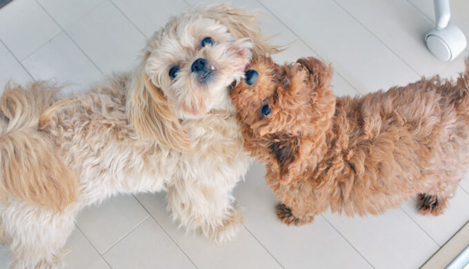 ペキプー トイプー 子犬