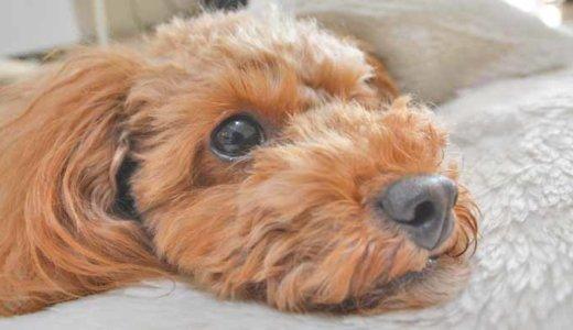 犬の虫歯を解説!わが家が行っている虫歯予防と治療方法を紹介します